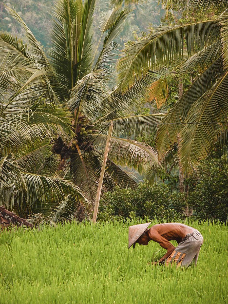 Viaggio In Indonesia. Contadino nelle risaie di Ubud