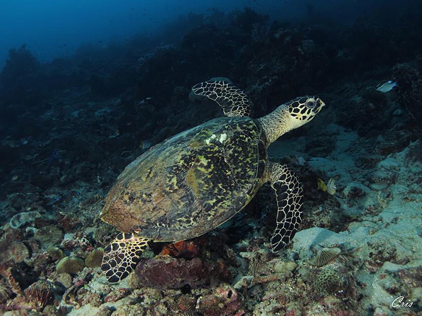Una tartaruga a Moyo Island