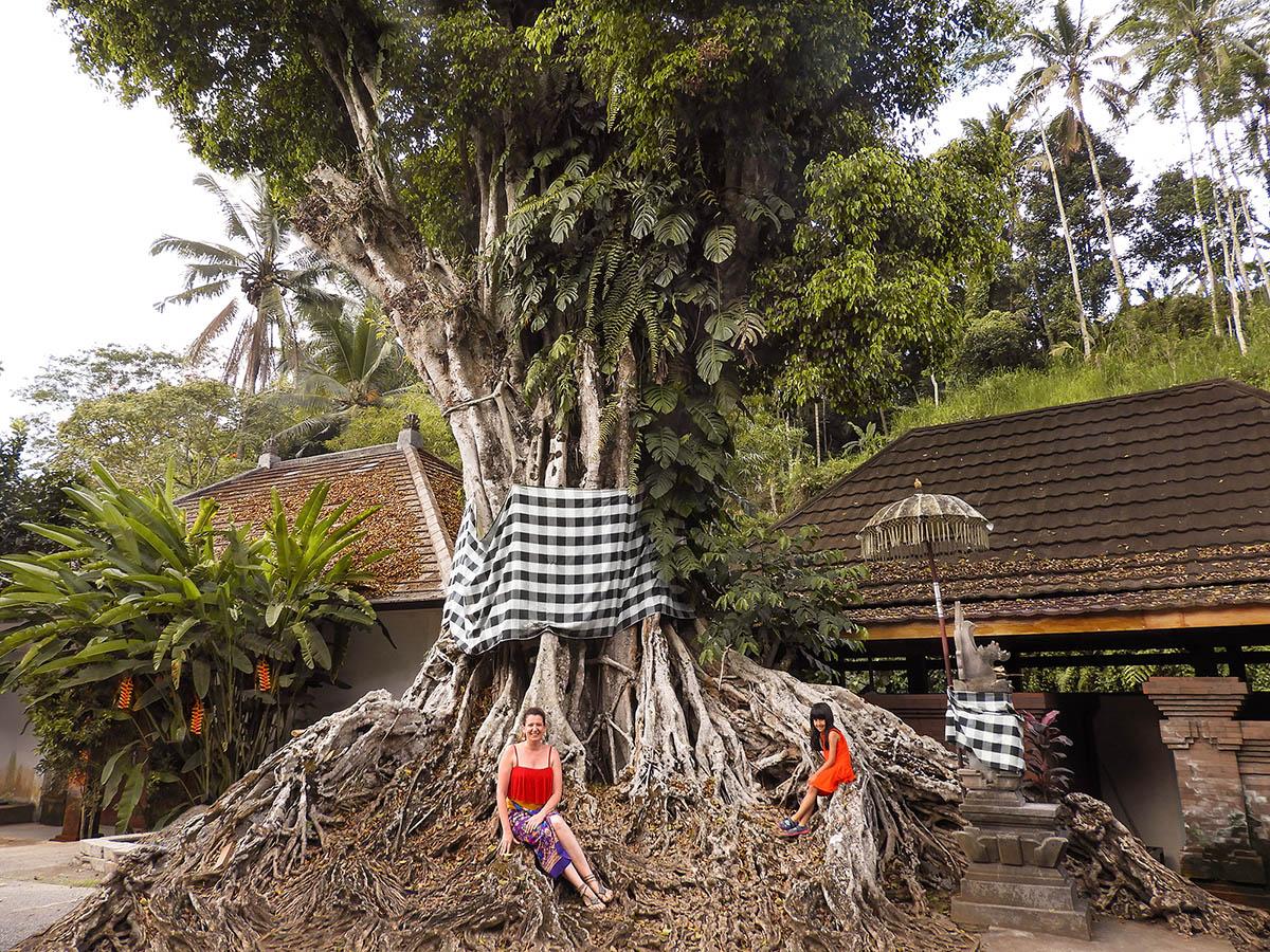 tirta empul: l'albero di banyan